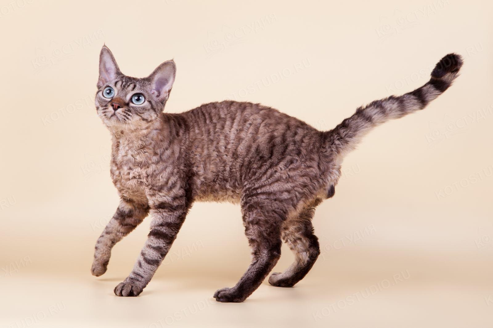 кошка девон рекс фото описание приспособления
