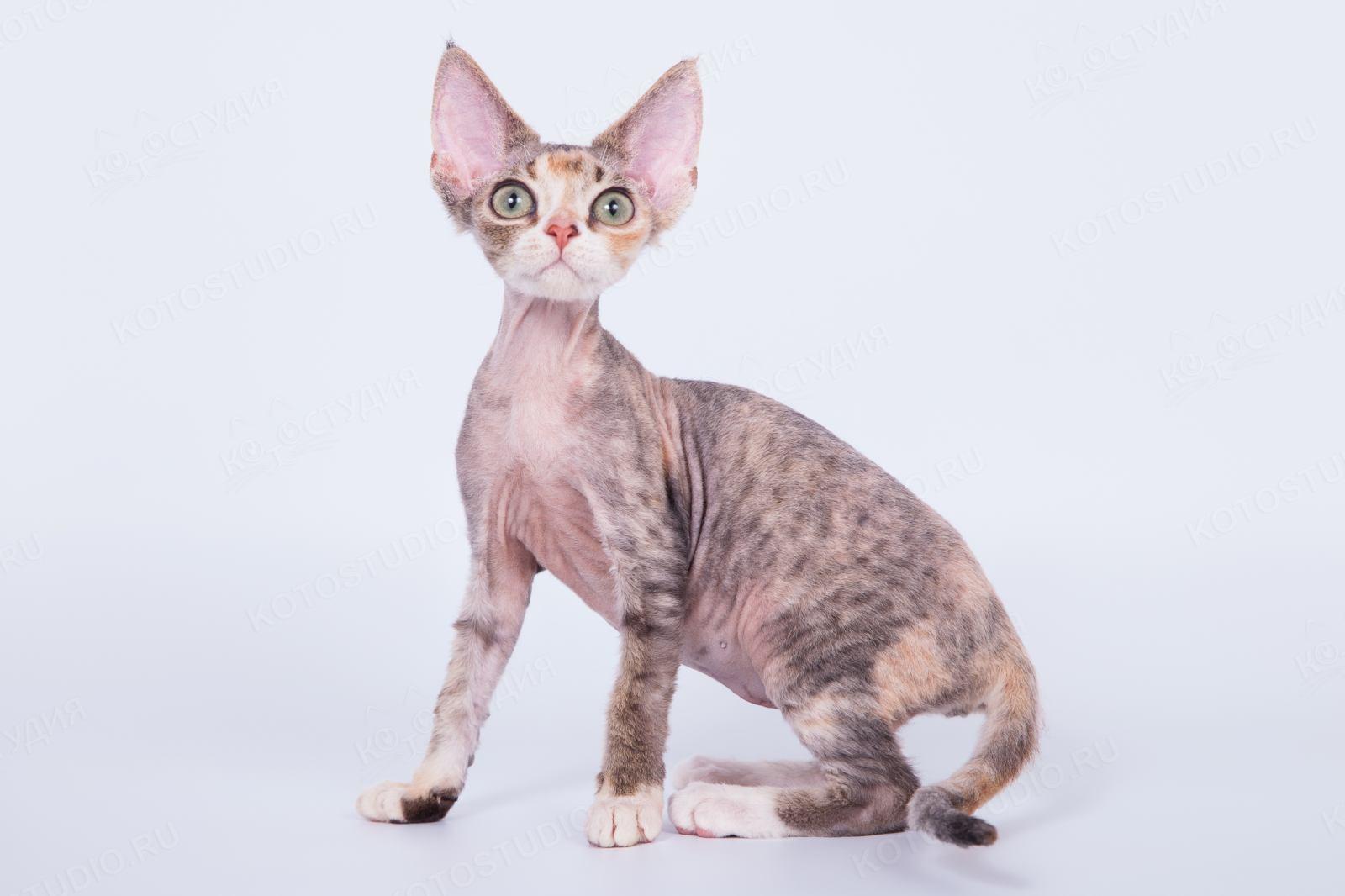 кошка девон рекс фото описание правила, помогающие