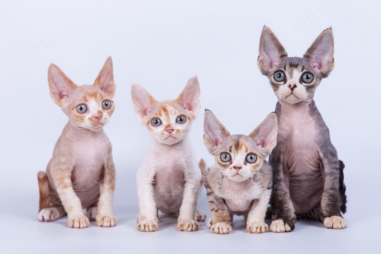 Коты породы девон рекс