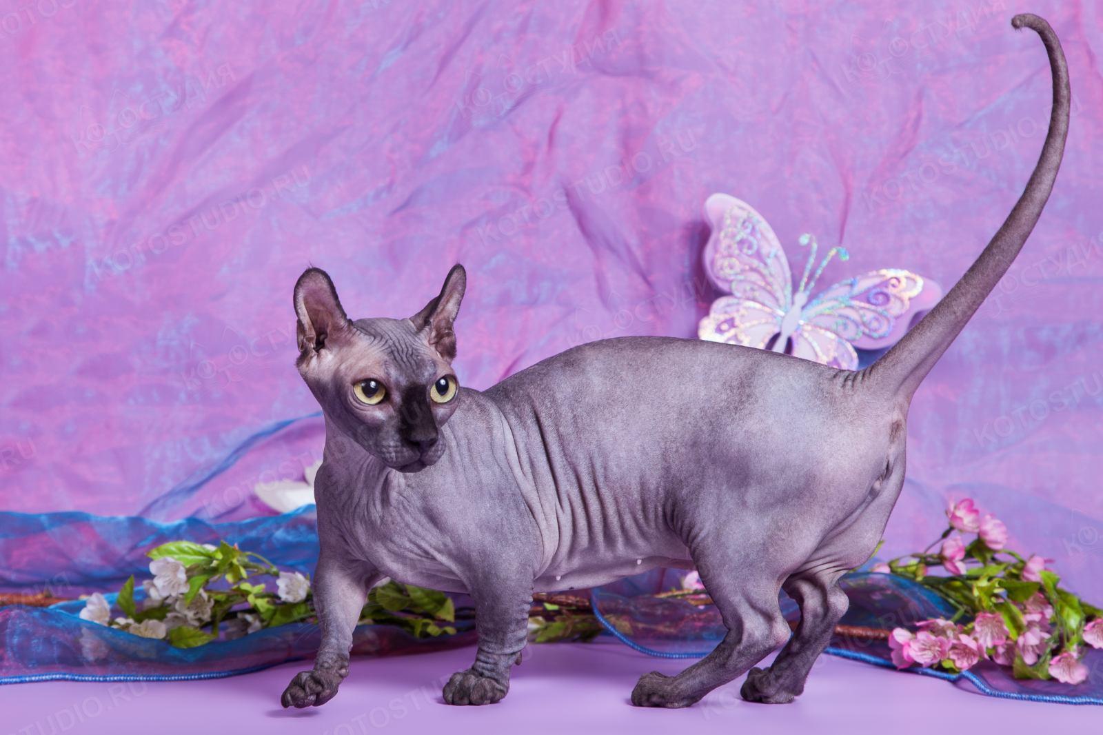 котята кошки породы двэльф