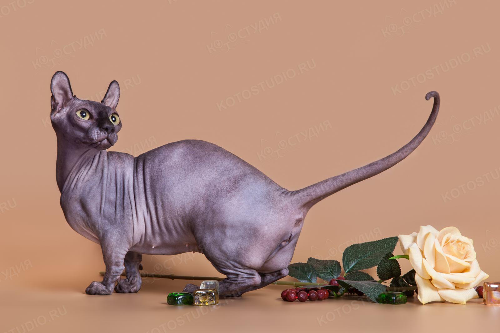 характер породы кошки двэльф