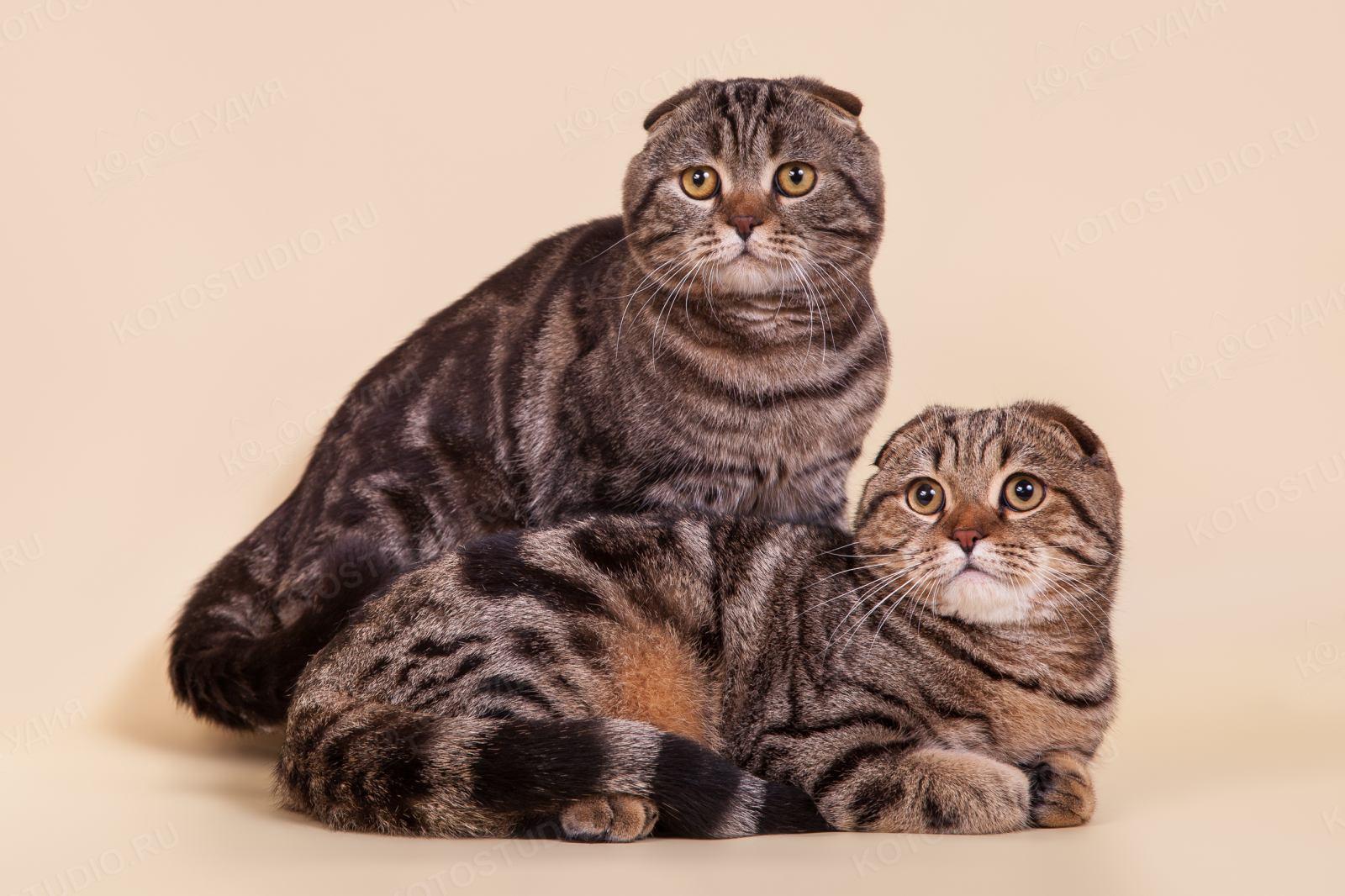 можно окрасы шотландских кошек картинки и название программе ежегодного творческого