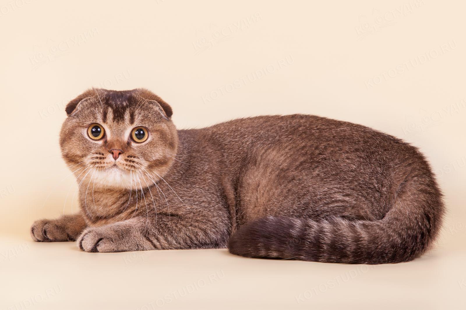 Кошка порода скоттиш фолд фото