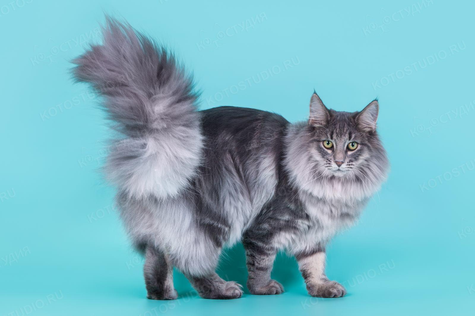 белый огненный норвежская лесная порода кошек фото и описание тем, как