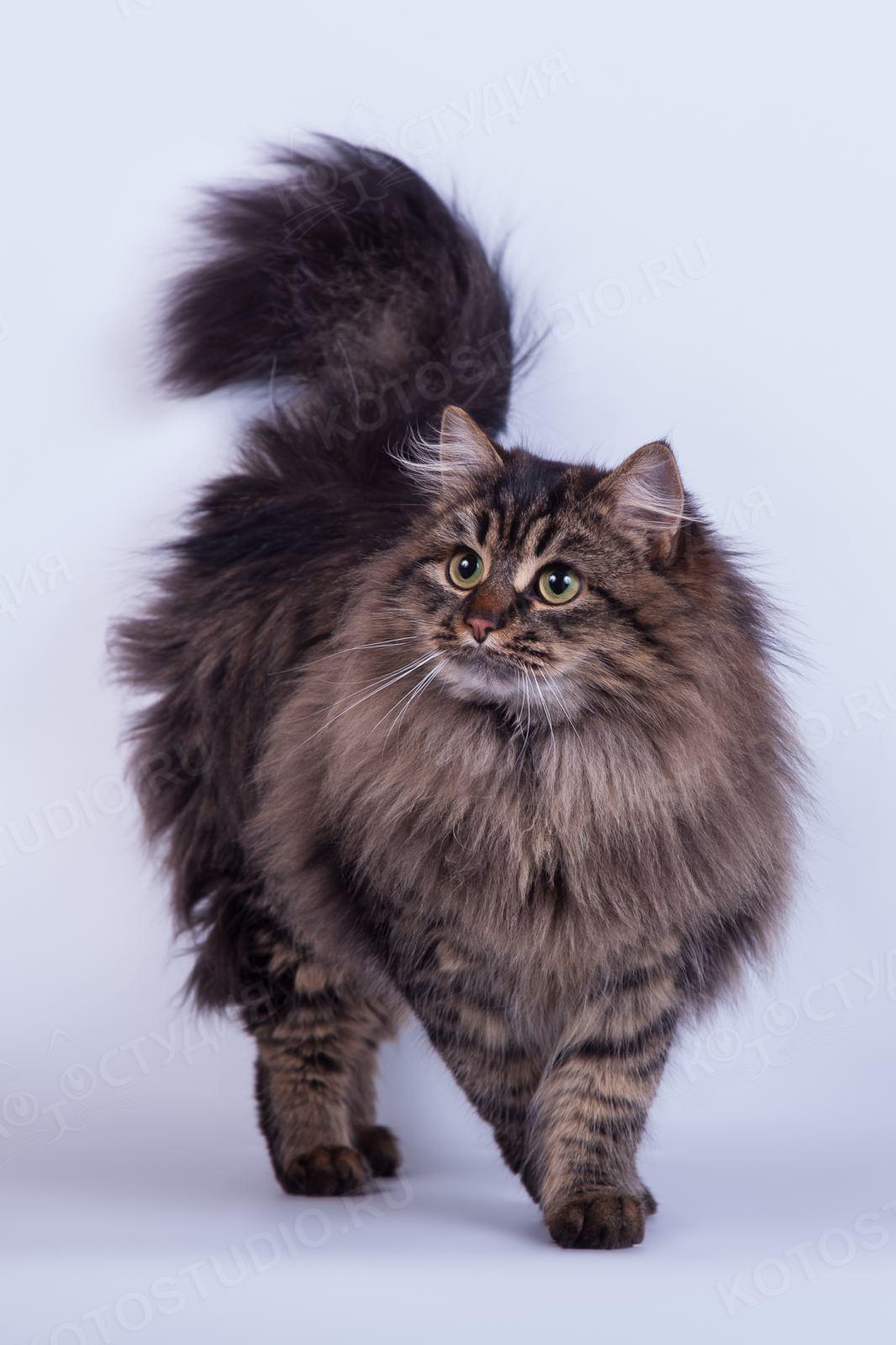 сибирские кошки фотографии нужно сделать