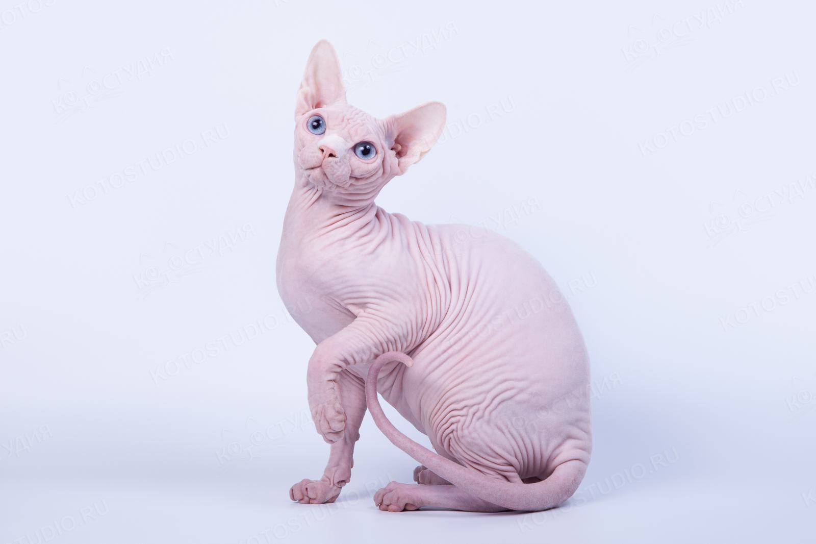 розовый сфинкс фото рекомендуется выращивать шпалере