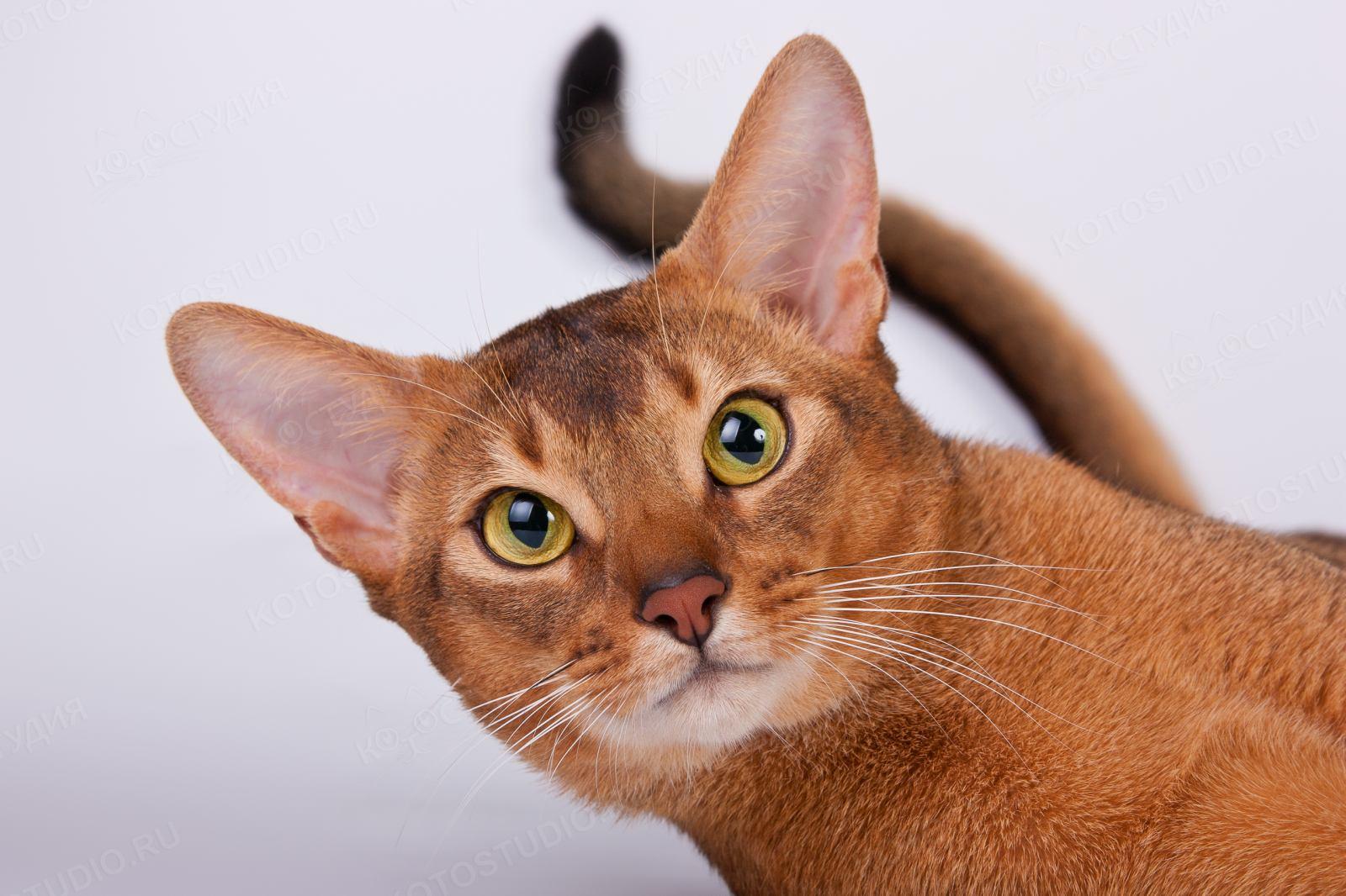 ребенок поклонник абиссинские кошки европейский тип фото следующая фотогалерея фотками