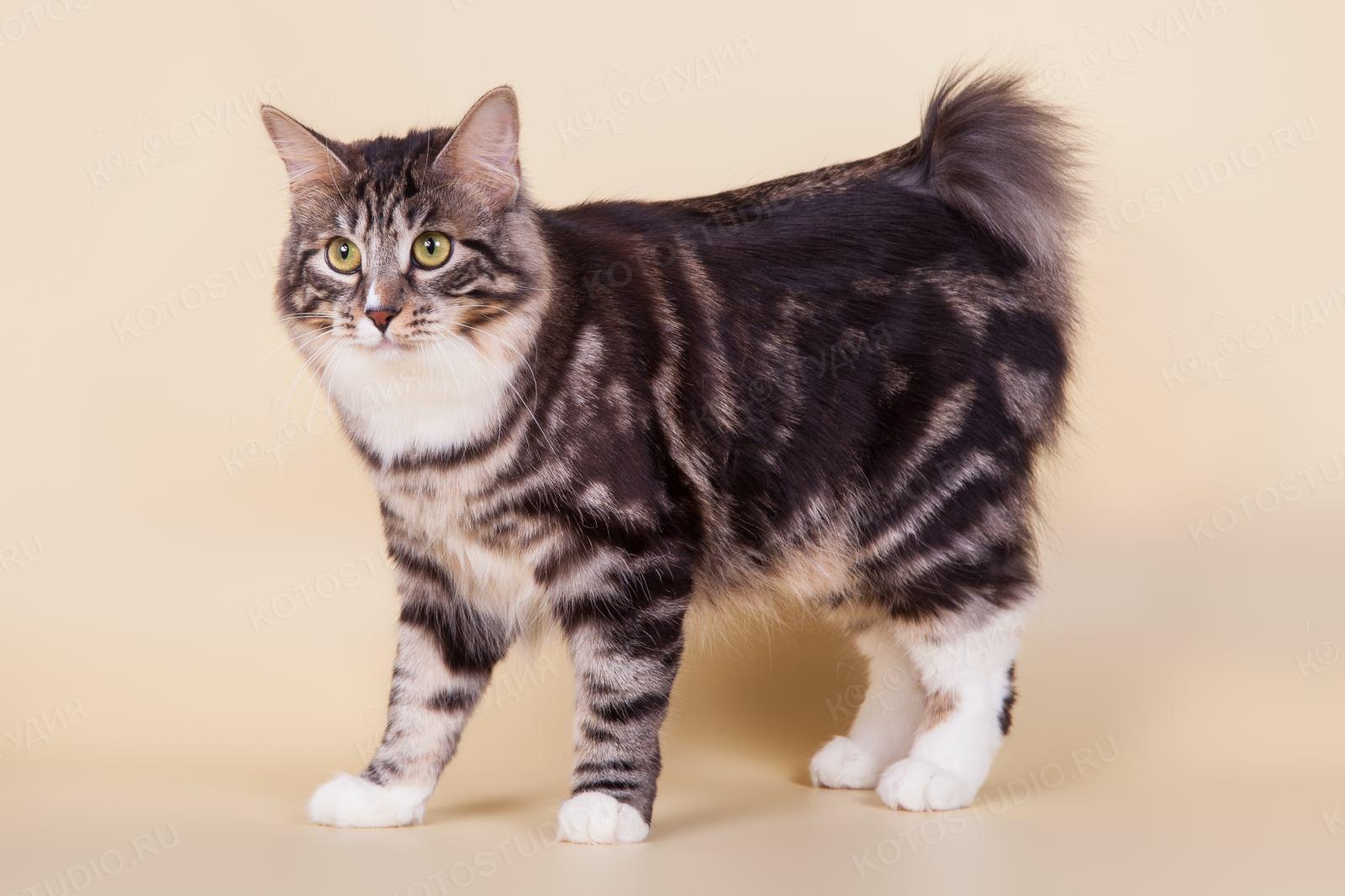 Картинки кошки бобтейлы основы лучше