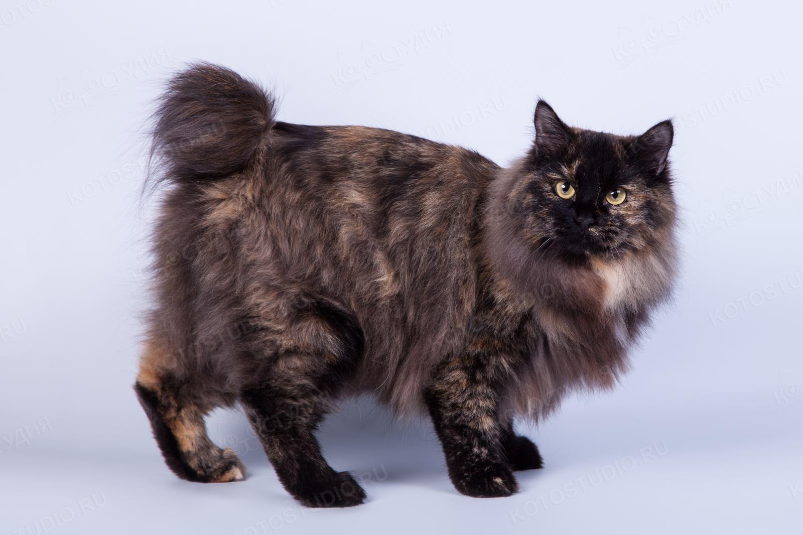 здп коболдо картинки курильских бобтейлов кошек милые