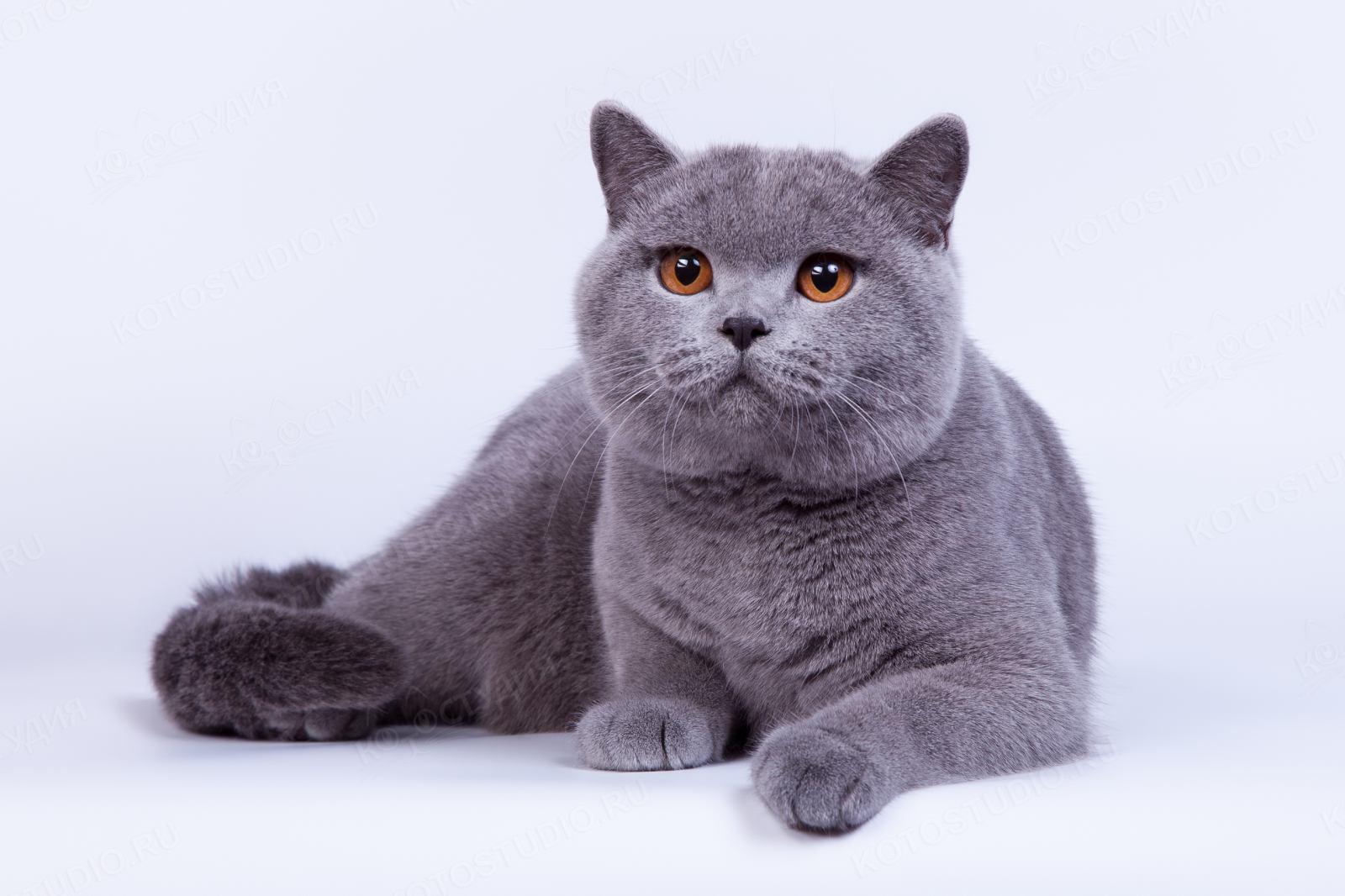 Кот порода британец картинки