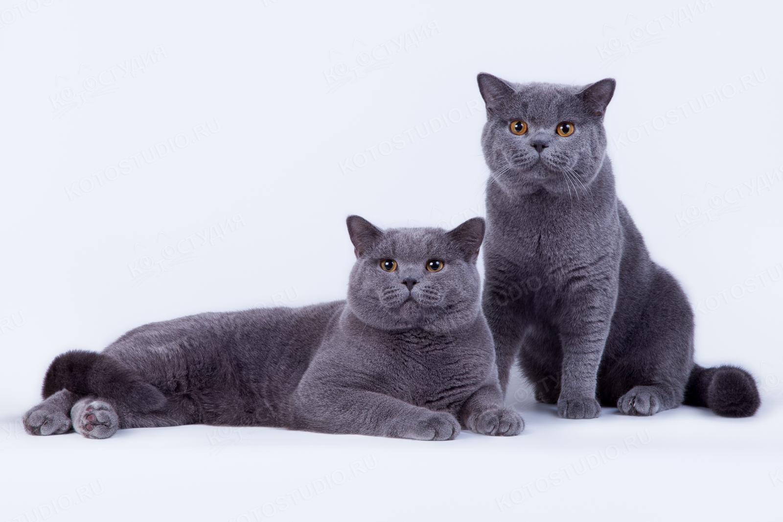 кошки фото британцы короткошерстные найдете красивые