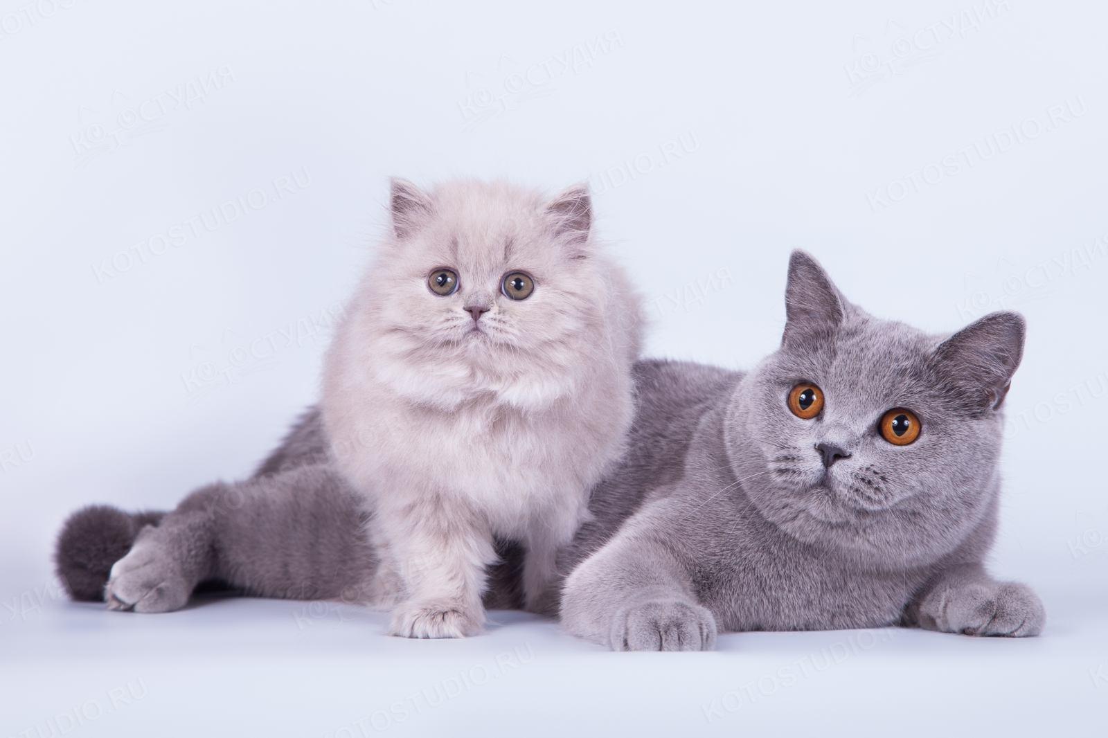 картинки британских кошек и котят короткошерстных число