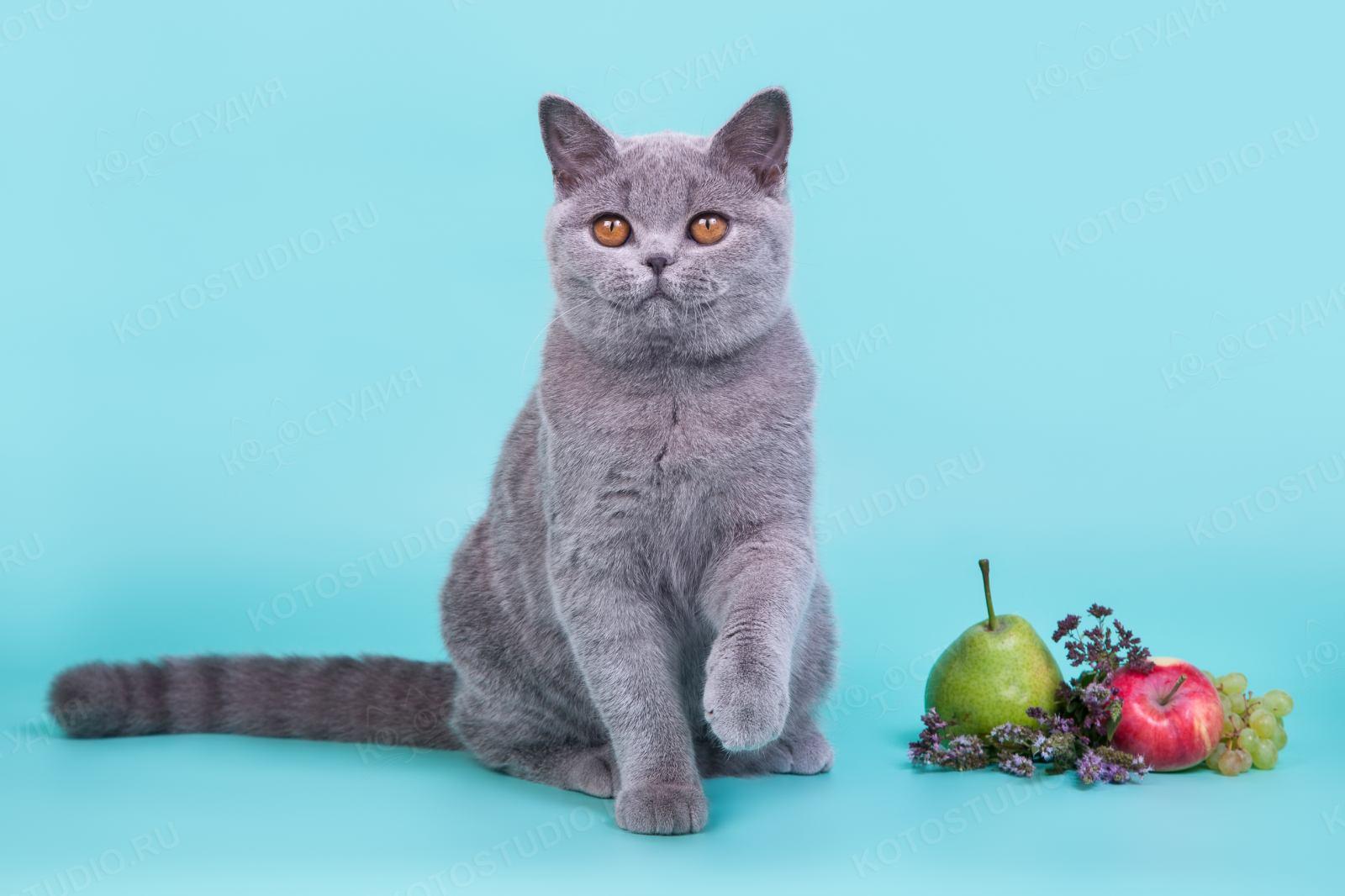 картинки британские кошки все о них потом стал архитектором