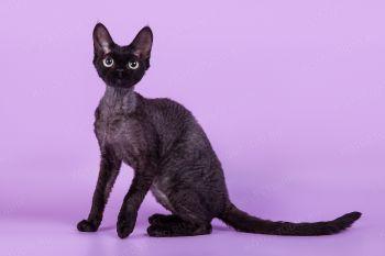 Curly Time Aponi of Solnyshko. Кошка породы Девон-рекс черного окраса.