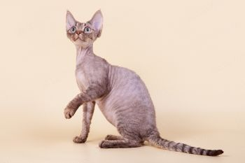 Кошка породы Девон-рекс.