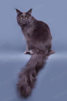 Кошка породы Мейн-кун.
