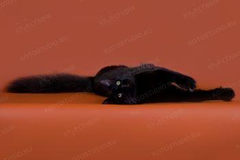 Giantpets Zorro of Ermak. <p>Кот породы Мейн-кун</p>