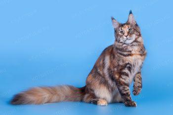 K*Elka  MarkLinn*RU. Кошка мейн-кун окраса черепаховый  мраморный.