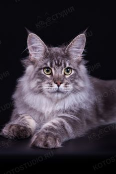 Bestseller Forester. Кот породы мейн-кун, окрас голубой серебристый мраморный, заводчик/владелец Наталия Карпова.