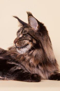 Ch. RU*Unicum Good Purring Cemen. Черный мраморный кот мейн-кун из питомника MarkLinn.