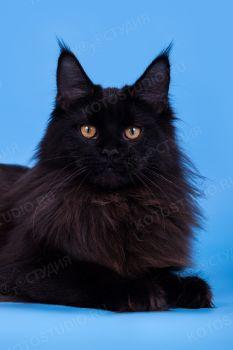 Austere Style Oktava'RU. Кошка мейн-кун черного солидного окраса.