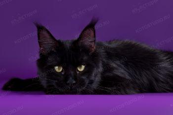 Mainelynx Messina Gangstercat. <p>Кошка породы Мейн-кун из питомника GangsterCat</p>