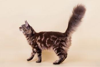 Te Adoro Basileus*RU. Кошка мейн-кун черного мраморного окраса.
