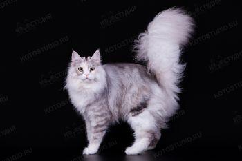 Eridan Gris, кошка мейн-кун черная черепаховая серебристая тигровая с белым.