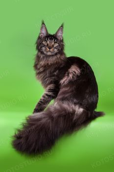 Bellvil DagaZoon, черная мраморная кошка породы мейн-кун.