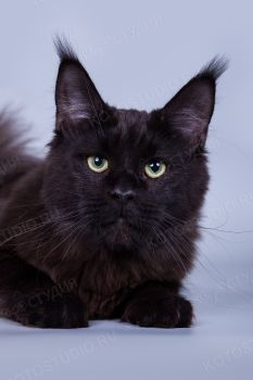 Lilit MarkLinn*RU. Черная солидная кошка породы мейн-кун.