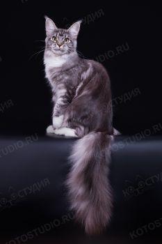 Bestseller Frida. Кошка породы мейн-кун, чёрная серебристая мраморная с белым - заводчик/владелец Наталия Карпова.