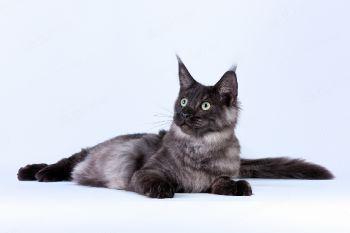 L*Black Diamond MurHouse. <p>Кошка породы Мейн-кун</p>