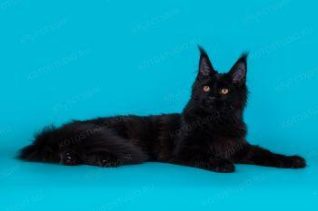 StarsQuality X'Margaret. Черная кошка мейн-кун.