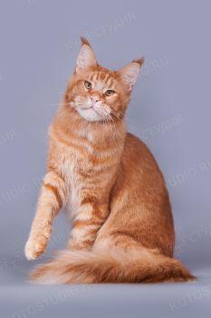MarkLinn Jaskpot. Кот мейн-кун окраса красный тикированный.