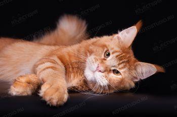 MarkLinn Jaskpot. Красный тикированный кот мейн-кун из питомника MarkLinn.