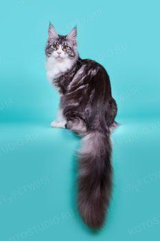 Bestseller Calgary Basileus. Кошка породы мейн-кун, чёрная серебристая мраморная биколор, заводчики Карпова/Чельцова, владелец Карпова.