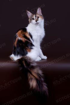 ForestPride Nili. <p>Кошка Мейн-кун</p>