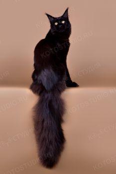RU Forest Pride Samson. <p>Кот породы Мейн-кун</p>