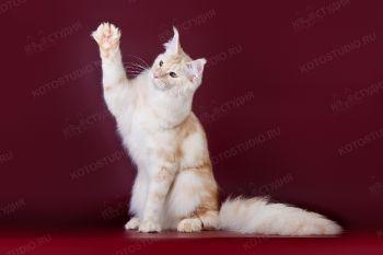 Rusfairytail Ottava. <p>Кошка породы Мейн-кун</p>