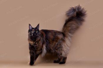 Honey Devil Infanta. <p>Кошка породы Мейн-кун</p>