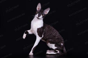 Кошка породы Корниш-рекс.