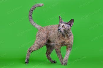 Кошка породы Корниш-рекс