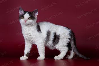 Котенок породы Селкирк-рекс