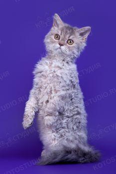 Кошка породы Селкирк-рекс