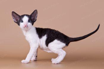 Котенок породы Корниш-рекс.