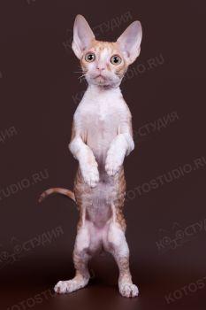 Котенок породы Корниш-рекс