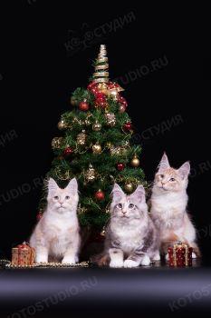 Котята мейн-кун из питомника RusFairyTail.