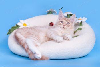 RusFairyTail Belle. Котенок породы Мейн-кун.