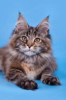 Котенок породы Мейн-кун.
