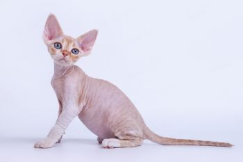 Котенок девон-рекс из питомника Ainegve.